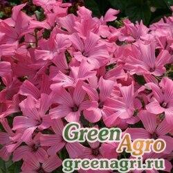 "Лаватера трехмесячная (Lavatera trimestris) ""Novella"" (rose with stripes) Raw 1000 шт."