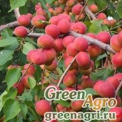 Абрикос сибирский (Armeniaca sibirica) 100 гр.