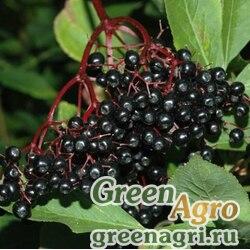 Бузина черноплодная (Sambucus melanocarpa) 20 гр.
