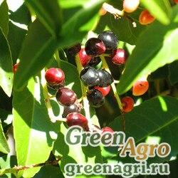 Вишня араксинская (Cerasus araxina) 40 гр.
