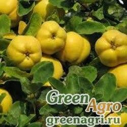 Айва обыкновенная (Cydonia oblonga) 70 гр.