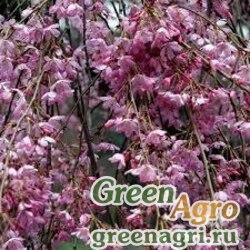 Вишня косматая (Prunus subhirtellа) 5 гр.