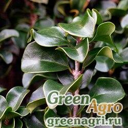 Бирючина японская (Ligustrum japonicum) 30 гр.