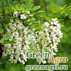 Акация белая (Robinia pseudoacacia) 100 гр.