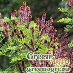 Аморфа кустарниковая (Amorfa fruticosa) 250 гр.