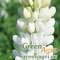 Люпин белый 0,5 кг Зеленый уголок (20)