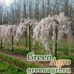 Вишня косматая плакучая (Prunus subhirtella pendula) 10 гр.