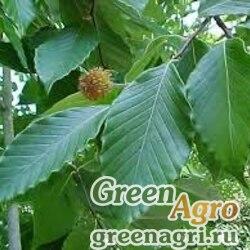 Бук крупнолистный (Fagus grandifolia) 15 гр.