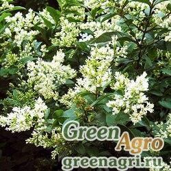 Бирючина Квихоу (Ligustrum quihoui) 30 гр.