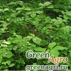 Бересклет малоцветковый (Euonymus pauciflora) 10 гр.