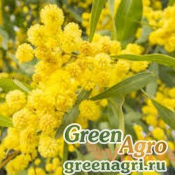 Акация серебристая (Acacia dealbata) 80 гр.