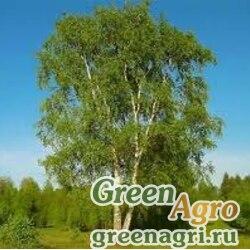 Береза тополелистная (Betula populifolia) 30 гр.