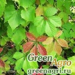 Виноград девичий ярко-зеленый (Parthenocissus laetivirens) 10 гр.
