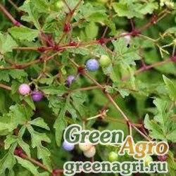 Семена Виноградовник железистый разнолистный (Ampelopsis glandulosa var. heterophylla) 2 гр.