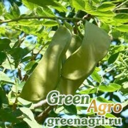 Бундук двудомный (Gymnocladus dioicus) 25 гр.