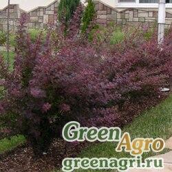 Барбарис Тунберга ф. пурпурнолистная (Berberis thunbergii f.atropurpurea) 20 гр.