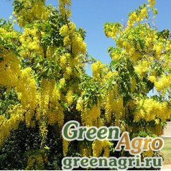 Бобовник альпийский (Laburnum alpinum) 26 гр.