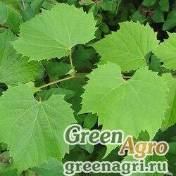 Виноград приречный (Vitis riparia) 25 гр.