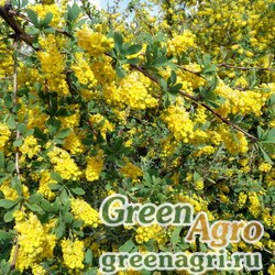 Барбарис иберийский (Berberis iberica) 40 гр.