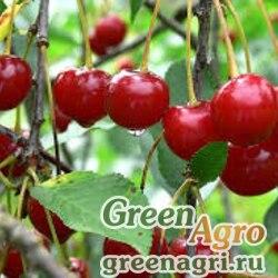 Вишня кислая (Cerasus austera) 50 гр.