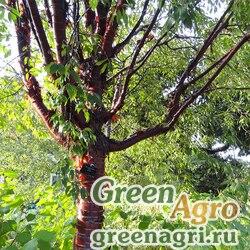 Береза вишневая (Betula lenta) 15 гр.