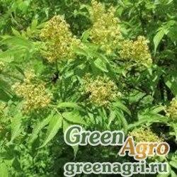 Бузина сибирская (Sambucus sibirica) 100 гр.