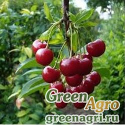 Вишня горькая (Prunus emarginata) 15 гр.