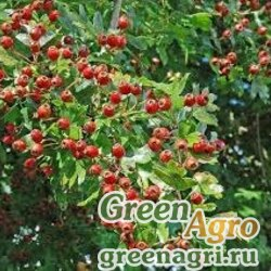 Боярышник шарлаховый (Crataegus coccinea/pedicellata) 150 гр.