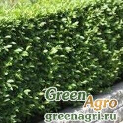 Бирючина блестящая (Ligustrum lucidum) 30 гр.