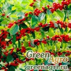 Вишня войлочная (Prunus tomentosa) 60 г
