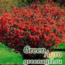 Айва китайская (Chaenomeles chinensis) 20 гр.