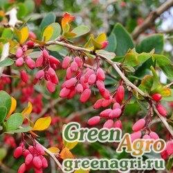 Барбарис обыкновенный (Berberis vulgaris) 50 гр.