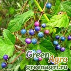 Семена Виноградовник разнолистный ( Ampelopsis heterophylla) 4 гр.