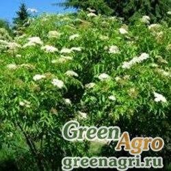 Бузина канадская (Sambucus canadensis) 20 гр.