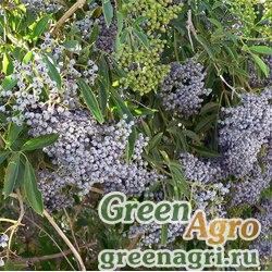 Бузина сизая (Sambucus caerulea) 30 гр.