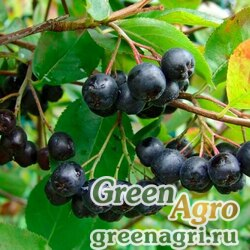Арония черноплодная (Aronia melanocarpa) 40 гр.