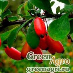 Барбарис пушистоколосковый (Berberis dasystachya) 1 гр.