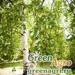 Береза ребристая (Betula costata) 10 гр.