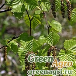 Береза шерстистая (Betula lanata) 15 гр.