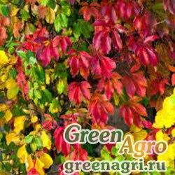 Виноград девичий полусердцевидный (Parthenocissus semicordata) 10 гр.
