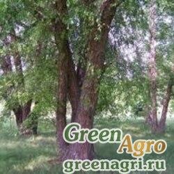 Береза черная (Betula nigra) 20 гр.