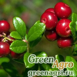 Семена Брусника обыкновенная (Vaccinium vitis-idaea) 1 гр.