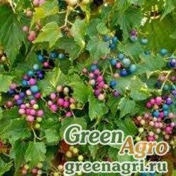 Семена Виноградовник короткоцветоножковый (Ampelopsis brevipedunculata) 5 гр.