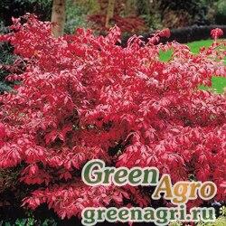Бересклет Бунге (Euonymus bungeana) 40 гр.