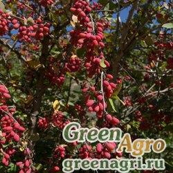 Барбарис густоцветковый (Berberis densiflora) 40 гр.