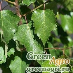 Береза ольхолистная (Betula alnoides) 15 гр.