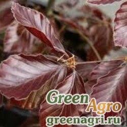 Бук европейский ф.темно-пурпурная (Fagus sylvatica f. atropurpurea) 20 г