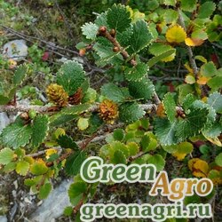 Береза круглолистная (Betula rotundifolia) 6 гр.