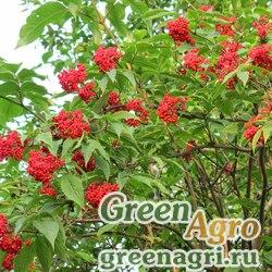 Бузина корейская (Sambucus coreana) 15 гр.