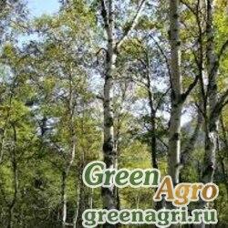 Береза японская (Betula japonica) 7 гр.